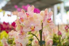 Red orange Spathoglottis Plicata ground orchids Royalty Free Stock Photo