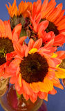Red and Orange Sunflowers Royalty Free Stock Photo