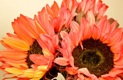 Red and Orange Sunflowers stock images