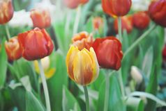 Red and orange tulip blooming on branch in garden. Red and orange tulip blooming on branch in the garden stock images