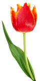 Red with orange tulip isolated on a white background Stock Photos
