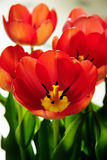 Red orange tulips in bloom closeup. Bright red and orange tulips with open flowers showing stigma, anther and stamens Stock Image