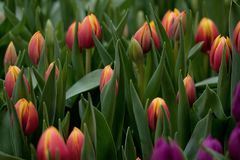 Red-orange tulips blooming in the park or in the garden. Beautiful red-orange tulips on the lawn or in the field royalty free stock image