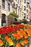 Red and Orange Tulips in the City Stock Photos