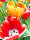 Red and orange tulips. Colorful tulips. Red and yellow. Looking into the tulip Stock Photos