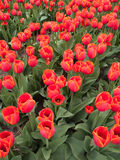 Red orange tulips Stock Image