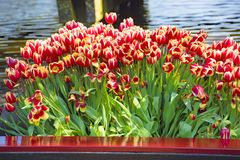 Red-orange tulips in front of water Royalty Free Stock Photos