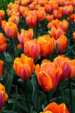 Red orange tulips from garden. Group of red orange tulips from Keukenhof garden Stock Photo
