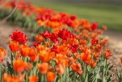 Red orange tulips Royalty Free Stock Images