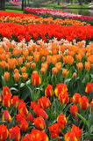 Red and orange tulips Stock Images
