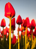 Red orange tulips in a row Royalty Free Stock Photo