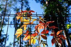 Red an orange virginia creeper leaves in autumn Royalty Free Stock Photos