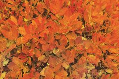Red and orange wet autumn leaves background. royalty free stock photos