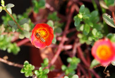 Red orange  Wingpod Purslane with honeybee Stock Photos