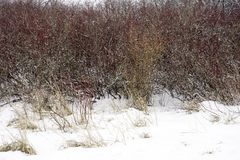 Red and orange winter foliage and yellow grasses covered in a fr Stock Photo