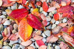 Red, Orange and Yellow Autumn Leaves Background Royalty Free Stock Photo