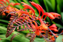 Red, orange and yellow crocosmia Royalty Free Stock Photos