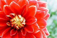 Red orange yellow dahlia ball fresh flower details macro photography with green out of focus background stock images