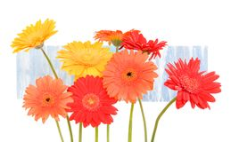 Red, orange, yellow daisies on blue background Stock Photography