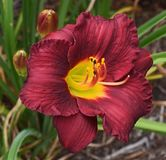 Red-Orange And Yellow Daylily, Lily Stock Image