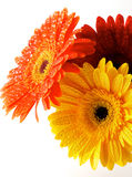 Red, Orange and Yellow gerbera flowers. With water droplets closeup on white background Stock Image