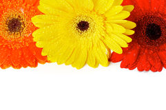 Red, Orange and Yellow gerbera flowers. With water droplets closeup as frame Stock Photos