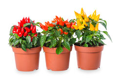 Red, orange, yellow hot chili peppers in pot is isolated on whit Stock Photography