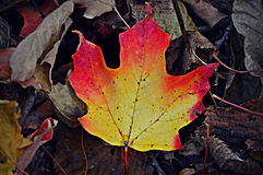Red, Orange, Yellow Leaf Stock Photo