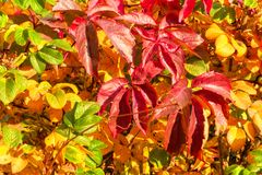 Red, orange and yellow leaves in autumn sunny day. Autumn foliage scene, for background and design. Red, orange and yellow leaves in autumn sunny day. Autumn royalty free stock images