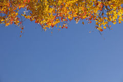 Red orange yellow maple leaves and blue sky. Looking up to red orange yellow maple leaves and blue sky Royalty Free Stock Photos