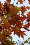 Red, Orange and Yellow Maple leaves Momiji at Eikando Temple in Kyoto royalty free stock photography