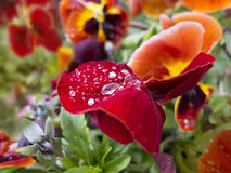 Red, orange, yellow pansies flower with dew. Royalty Free Stock Images