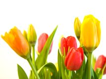 Red, Orange and Yellow Tulips. Isolated on white Stock Images