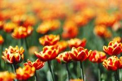 Red Orange Yellow Tulips Royalty Free Stock Image
