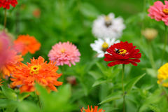Red and orange zinnia flowers Royalty Free Stock Photography