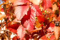 Red and orannge leaves in autumn sunny day. Autumn foliage scene, for background and design. Red and orange leaves in autumn sunny day. Autumn foliage scene royalty free stock image