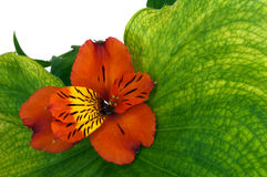 Red orchid Stock Photos