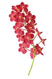Red orchid. Royalty Free Stock Photography