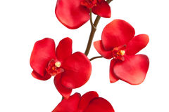 Red orchid Stock Image