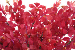 Red orchid. Isolated bouquet,blooming red orchid Stock Images