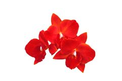 Red orchid. A isolated picture of a red orchid on white background Royalty Free Stock Photos