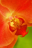 Red orchid. Vertical close-up of a beautiful red orchid Royalty Free Stock Images