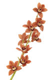 Red orchid Royalty Free Stock Image