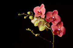 Red orchid on a black background Stock Photos
