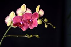 Red orchid on a black background Royalty Free Stock Photos