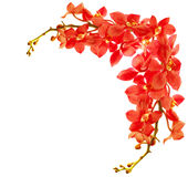 Red orchid border Stock Photos