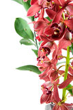 Red orchid in closeup Royalty Free Stock Photo