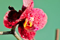 Red Orchid. Detail of a red orchid Royalty Free Stock Photography