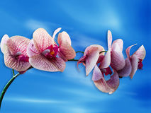 Red orchid flower. In blue sky Royalty Free Stock Photo