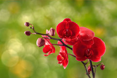 Red orchid flower on blur background Stock Photos